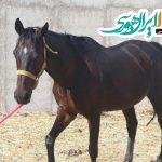 فروش اسب وارداتی