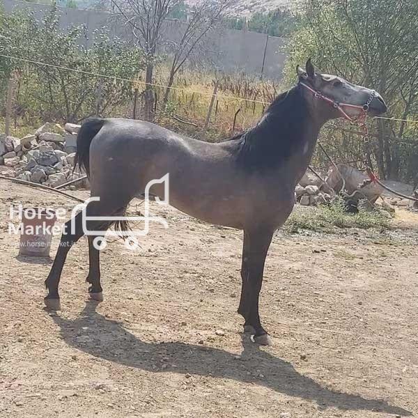 اسب کرد اصیل