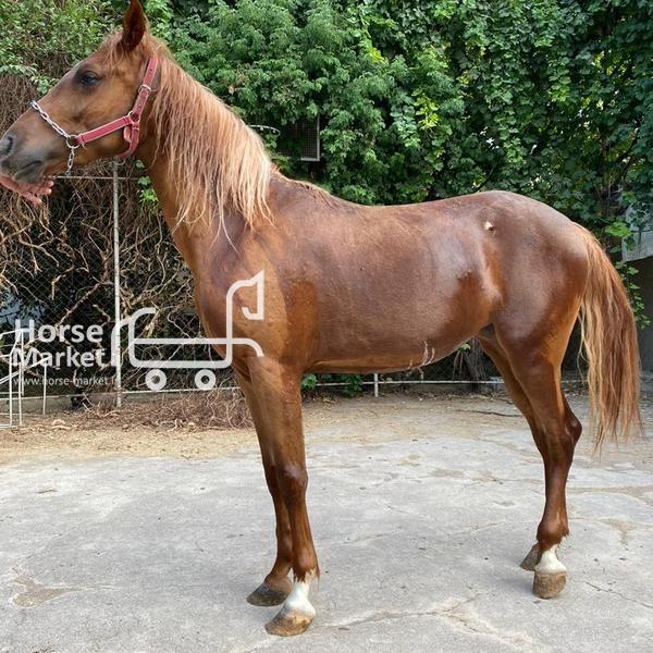 اسب نژاد کرد