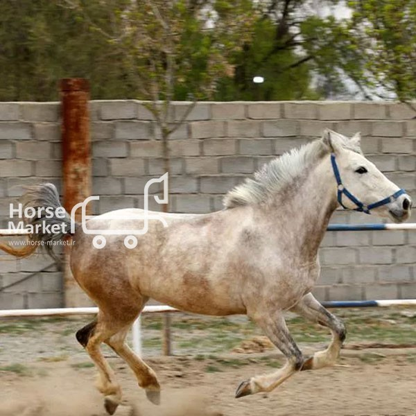 اسب مادیان عرب کرد